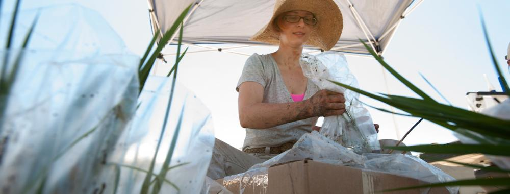 uc davis researcher working on a rice farnm